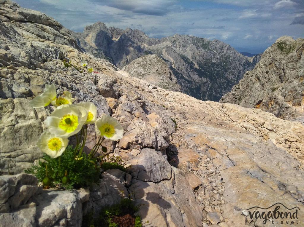 Цветя сред камънака на Национален парк Триглав